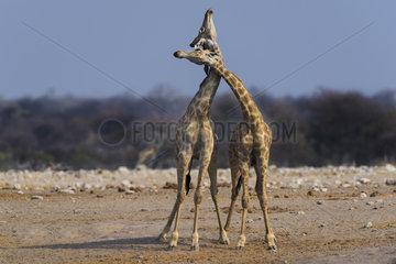 Giraffe (Giraffa camelopardalis) playing  Namibia  Etosha national park