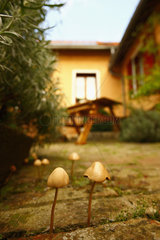 Liberty cap (Psilocybe semilanceata) growing between the bricks of private house's courtyard  in September  Picardy  France.