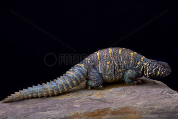 Ornate spiny-tailed lizard (Uromastyx ornata ornata)  Egypt