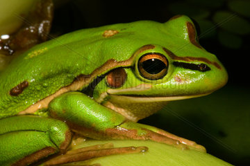 Green and Golden Bell frog - New Caledonia