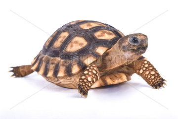 Chaco tortoise (Chelonoidis chilensis) on white background