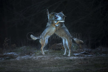 European Wolves (Canis lupus) play fighting at night  France