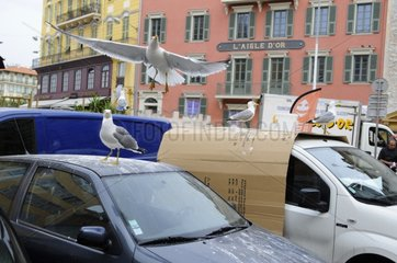 Gull droppings on cars in town - France
