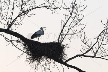 White Stork on nest  Ciconia ciconia  Hesse  Germany  Europe