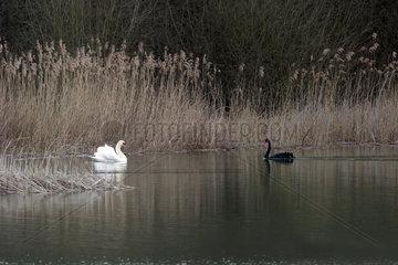 Mute Swan (Cygnus olor) and Black Swan (Cygnus atratus)  In cohabitation in winter  Lake Madine  Lorraine  France