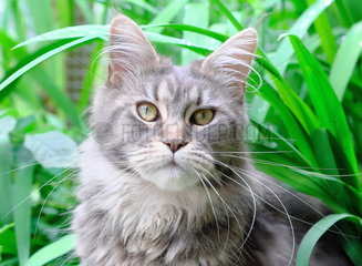 Maine Coon breed cat with black sylver tabby dress on vegetal background  Bayonne  France