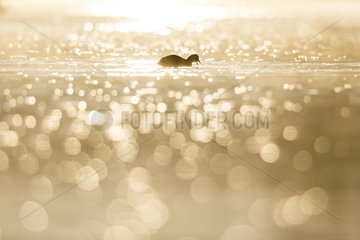 Silhouette of a coot (Fulica atra) swimming with flare at sunrise  Ile du Rhin  Alsace  France