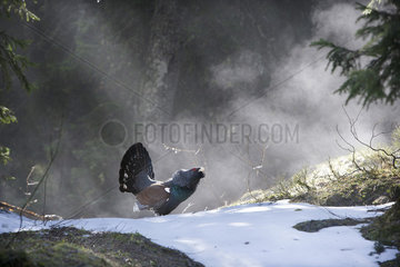 Western Capercaillie (Tetrao urogallus major) male displaying in mist  Slovenia