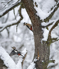 Woodpeckers (Dendrocopos major) males pursuing in a tree  Regional Natural Park of the Vosges du Nord  France