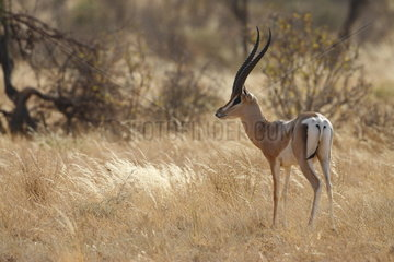 Grant's gazelle (Gazella granti)  Samburu  Kenya