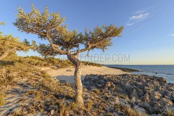 Silver Thicket (Euphorbia stenoclada) on coast  Baie des Assassins- Madagascar