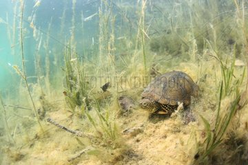 European pond turtle on the bottom of a lake - France