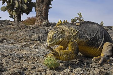 Land Iguana rolling a cactus fruit Galapagos
