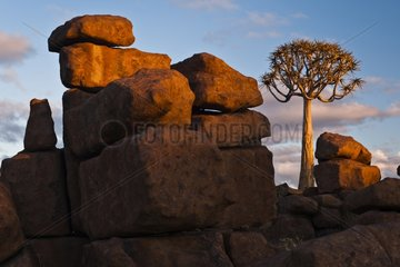Dolorite rock and quivertree under the last rays of sun