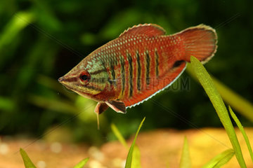 Vaillant's Chocolate Gourami (Sphaerichthys vaillanti) female with courtship colour pattern
