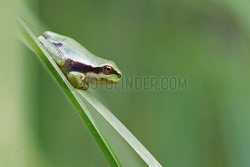 Young Tree Frog (Hyla arborea) coming out of a pond. Prairies of the Fouzon. Touraine. France.