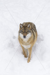 European Wolf in Winter  Canis lupus  Bavarian Forest National Park  Germany  Europe