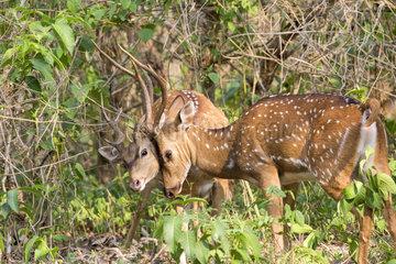 Fighting Deer Axis - Nagarhole India
