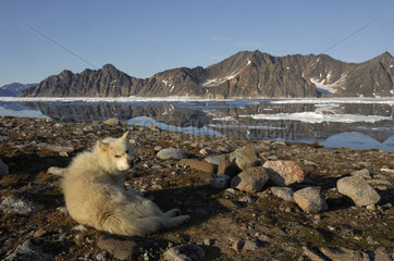 Greenlandic dog lying on the coast - Kap Hoegh Greenland