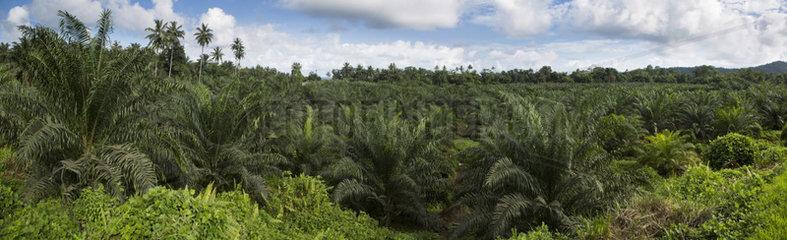 Oil palm plantation (Elaeis guineensis)  Agripalma company  subsidiary of Socfin  Village of Monte Mario  Sao Tome and Principe Island