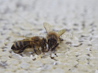 Two Carniolan honey bee (Apis mellifera carnica) feeding on honey. The bees of the carnica subspecies originated in Slovenia.