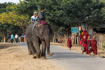 Asian Elephant (Elephas Maximus) hauling in the forest  Myanmar. In the Taungoo area  elephants are used from November to March for skidding trunks of precious trees. In Mying Whai Wynn  mahouts of the Bamas ethnic group go and find Iron Wood and teak in the jungle near their village.