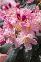 Rhododendron 'Percy Wiseman' in bloom in a garden
