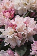 Rhododendron 'Dreamland' in bloom in a garden