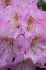 Rhododendron 'Scintillation' in bloom in a garden