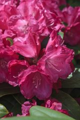 Rhododendron 'Morgenrot' in bloom in a garden