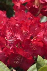 Rhododendron 'Halfdam Lem' in bloom in a garden