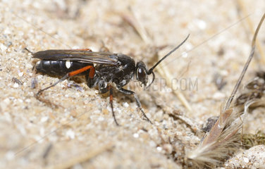 Red Legged Spider Wasp (Episyron rufipes) in front of his gallery  Pays de Loire  France
