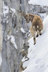 Alpine Ibex (Capra ibex) on snowy cliff  France