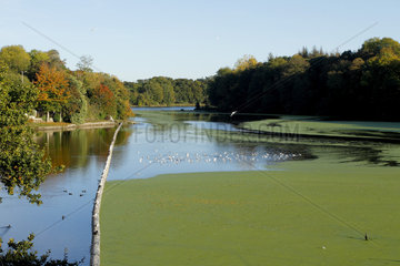 Pond covered with Common Duckweed (Lemna minor)  Ponts Neufs  Brittany  France
