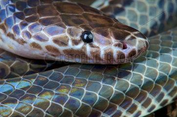Sunbeam snake (Xenopeltis unicolor)  Thailand