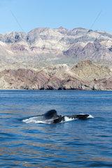 Lunge feeding fin whale - Gulf of California