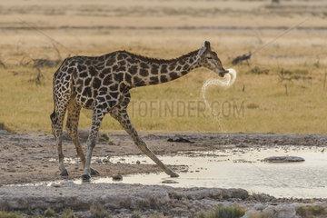 Giraffe (Giraffa camelopardalis) drinking  Namibia  Etosha national park