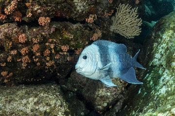Giant Damselfish (Microspathodon dorsalis)  Los Islotes  Sea of Cortez  Baja California  Mexico  East Pacific Ocean