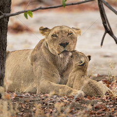 Lion (Panthera leo)  cub playing on the lione's back and another one makes a cuddle  Namibia  Etosha national Park
