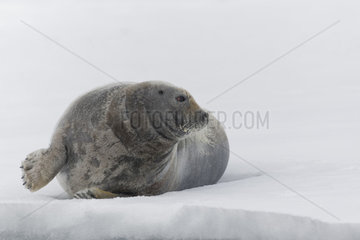 Bearded seal (Erignathus barbatus) on an iceberg looks on the side - Svalbard  Norway