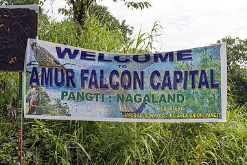 Doyang Hydroelectric Dam  where up to one million birds : Amur falcon (Falco amurensis) concentrate on the road to their migration to southern Africa  Nagaland  India