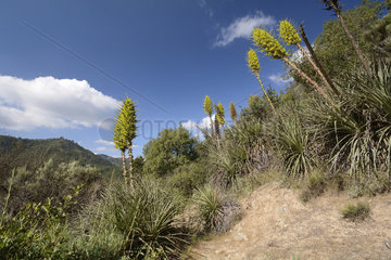 Chagual or Puya (Puya chilensis)  Flowering in the Coast Cordillera Colliguay (Quilpue) - V Valparaíso -Chile Region