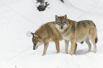 European Wolves  Canis lupus  Bavarian Forest National Park  Germany  Europe