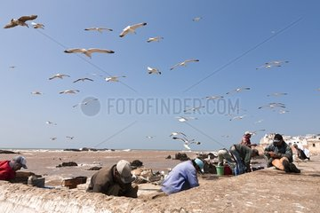 Fishermen cleaning their fish - Essaouira Morocco