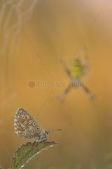 Adonis Blue on leaf and Wasp Spider - Lorraine France