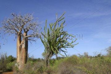 Baobab tree and cactus Ifaty Madagascar [AT]