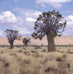 Quiver Trees fringe of the Namib desert Southern Namibia