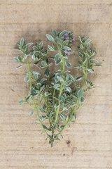 Lemon thyme 'Silver Queen' in herbarium