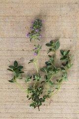 Lemon thyme 'Typ Lammefjord' in herbarium