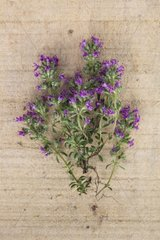 Mother of thyme 'Purple Beauty' in herbarium